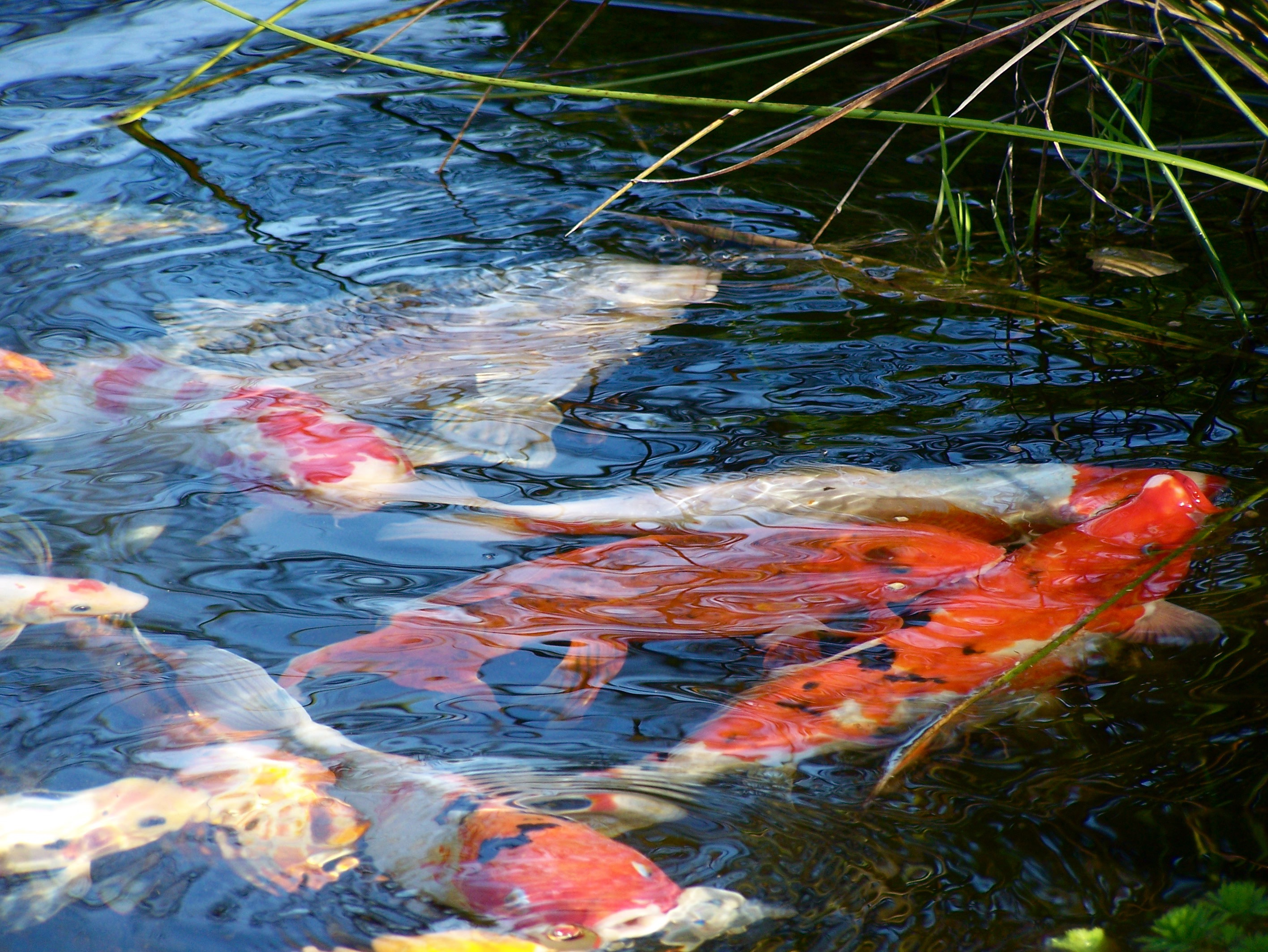 3 ways to keep pond water clear sweetwater landscape for Koi holding pool