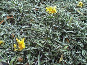 Dymondia ground Cover