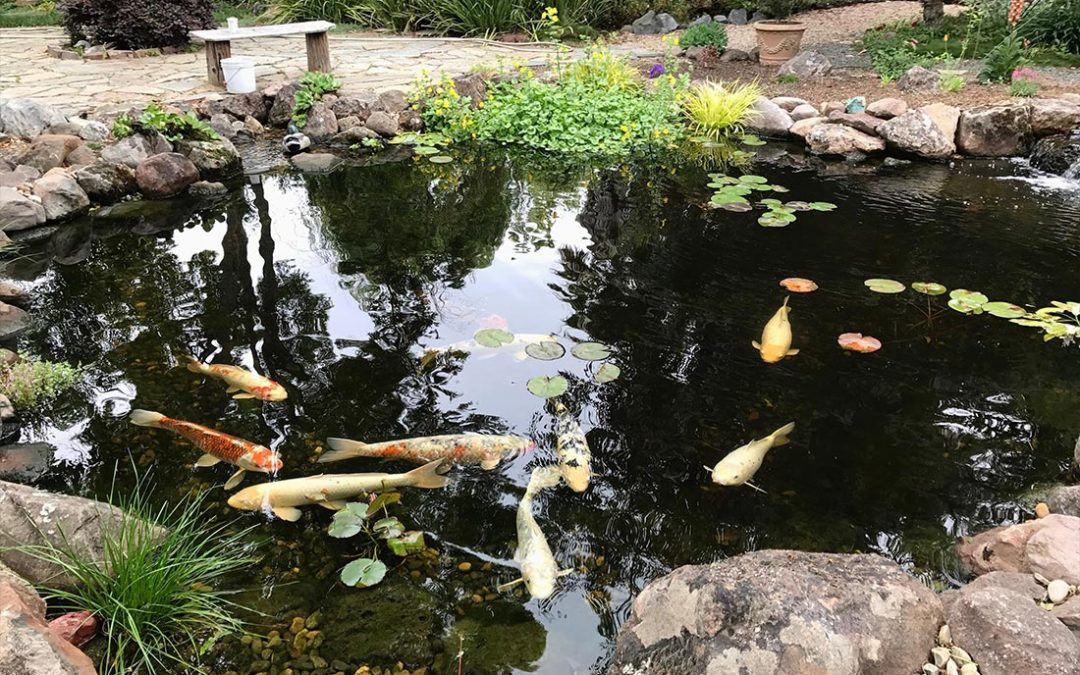 Why Do You Need a Koi Pond in Your Backyard?